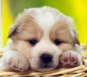 Como adotar um filhote de cachorro?