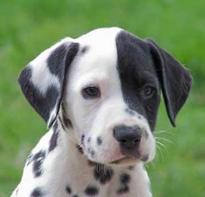 Como desvermifugar os cães?