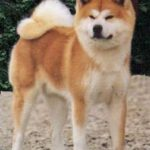Akita – Características da raça, fotos e vídeos