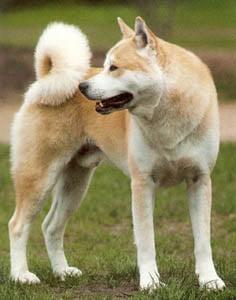 Akita - Características da raça, fotos e vídeos