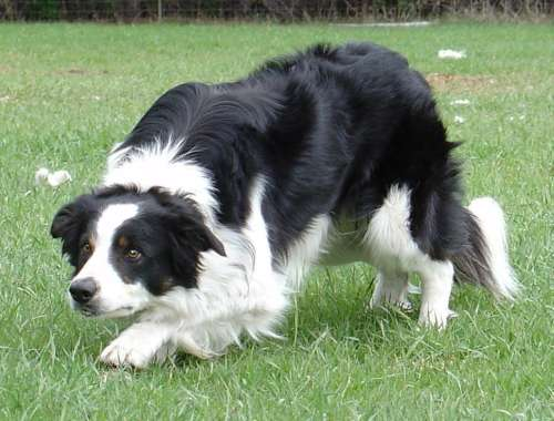 foto-border-collie-0