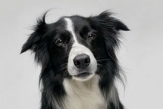 foto-border-collie-3