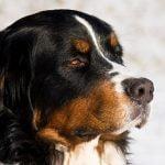 Bernese Mountain Dog - Características da raça, fotos e vídeos