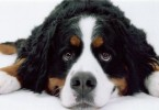 Bernese-Mountain-Dog_Fotos_9