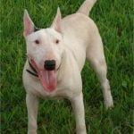 Raça Bull Terrier - Características, fotos e vídeos