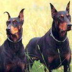 Dobermann – Características da raça, fotos e vídeos