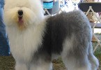 Old-English-Sheepdog_Fotos_1