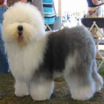 Old English Sheepdog – Características da raça, fotos e vídeos