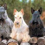 Scottish Terrier - Características da raça, fotos e vídeos