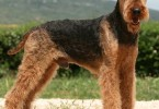 Airedale-Terrier_Fotos_5