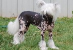 Chinese-Crested-Dog_Fotos_6