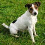 Jack Russel Terrier - Características da raça, fotos e vídeos