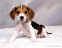 Services likewise Featured Breed Beagle moreover Beagle Puppy 9 together with Criadores De Beagle Beagle Harrier Y Harrier En Espana besides Bagel. on mini bagel dogs
