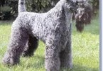 Kerry Blue Terrier 1
