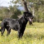 Cão de Bestiar: Característica, história da raça e curiosidade
