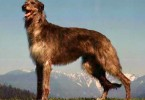 deerhound-2