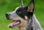australian-cattle-dog-4