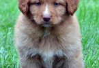 nova-scotia-tolling-retriever-3