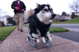 Derby: o cão que correu pela primeira vez usando próteses especiais