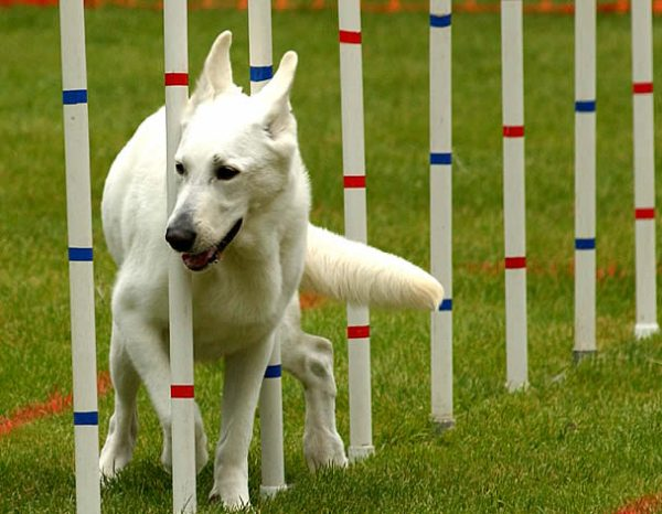 agility adestramento