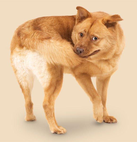 Por que os cachorros correm atrás do próprio rabo?
