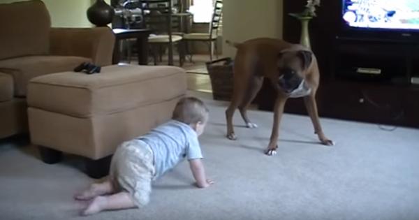 boxer-atacando-bebe-2