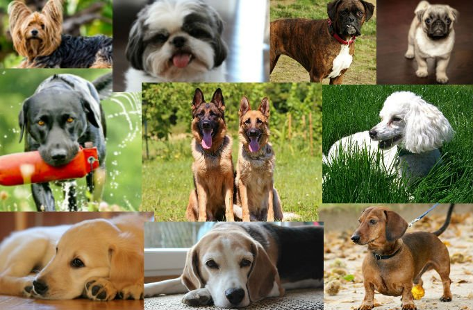 As 10 raças caninas mais populares do mundo