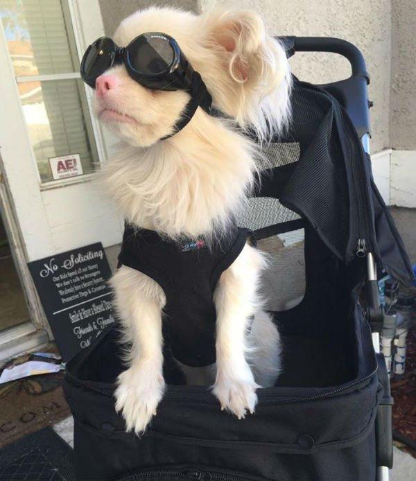 Cão albino usa óculos especiais para se proteger do sol