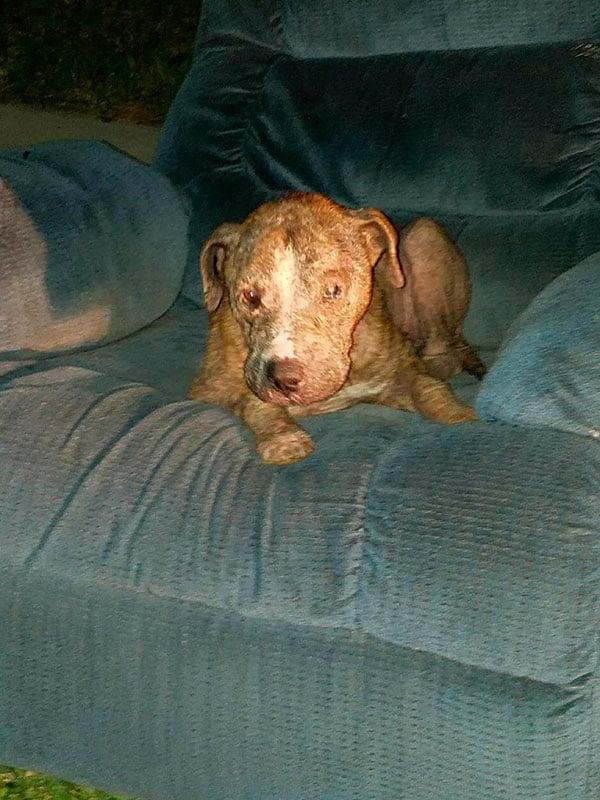 Cão passa seus dias em um velho sofá na rua antes de ser resgatado