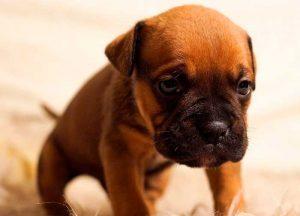 Como atenuar a saudade dos cães