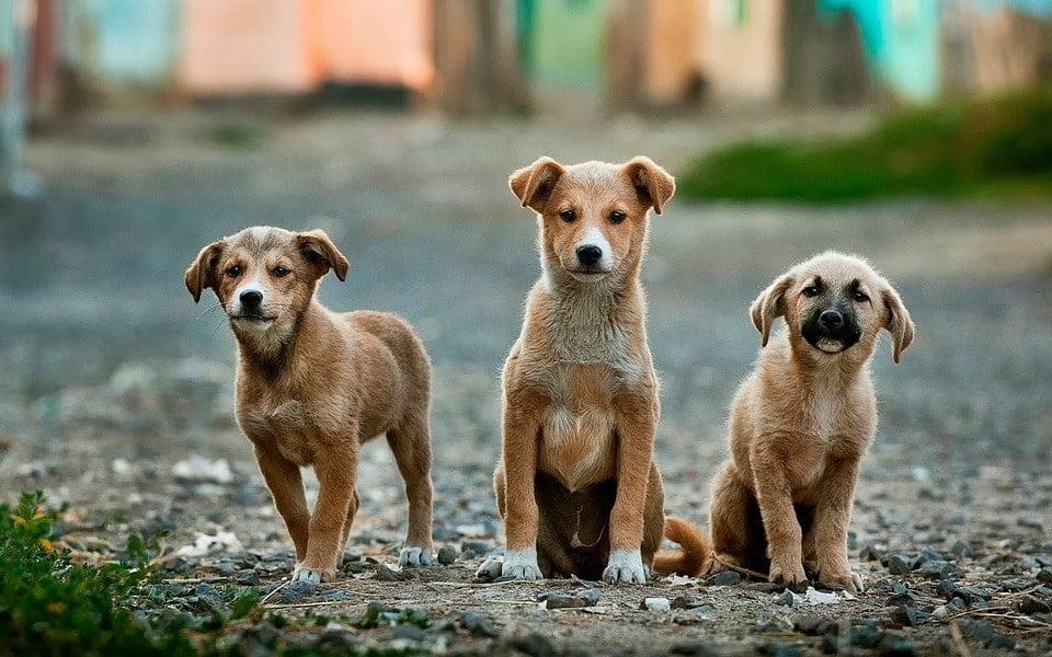 Cachorros também passam pela adolescência