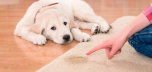 Como tirar o cheiro de urina de cachorro da casa