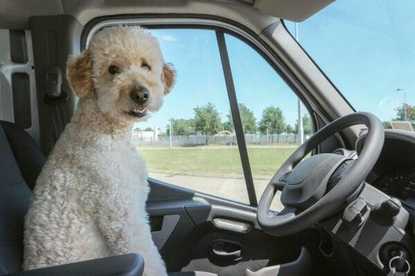 Um cachorro está preso no carro. Está calor. O que fazer?
