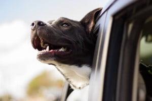 Por que os cães gostam de pôr a cabeça para fora do carro