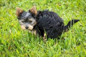 Coprofagia canina – meu cachorro come fezes: o que fazer?