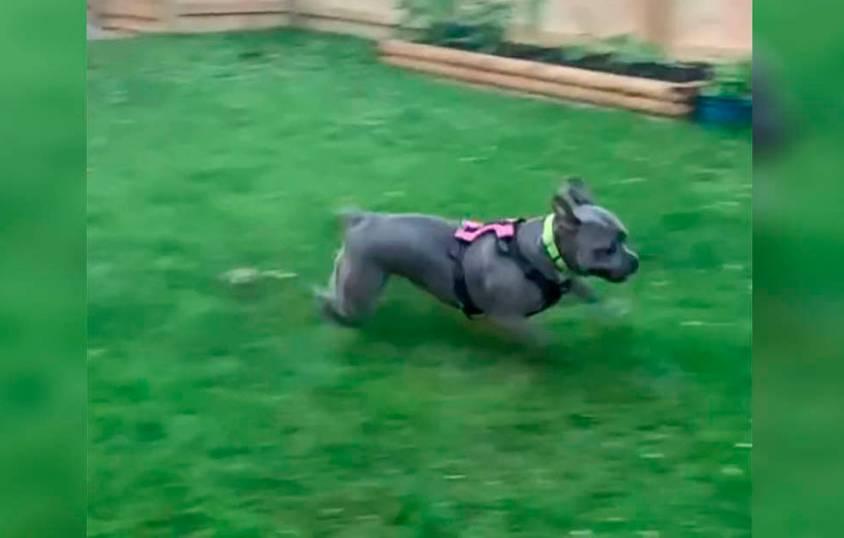 Pitbull se encanta por ganhar um local para correr e brincar