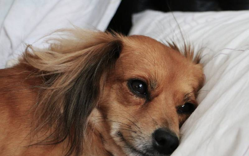 Lugar ideal para dog dormir (1)