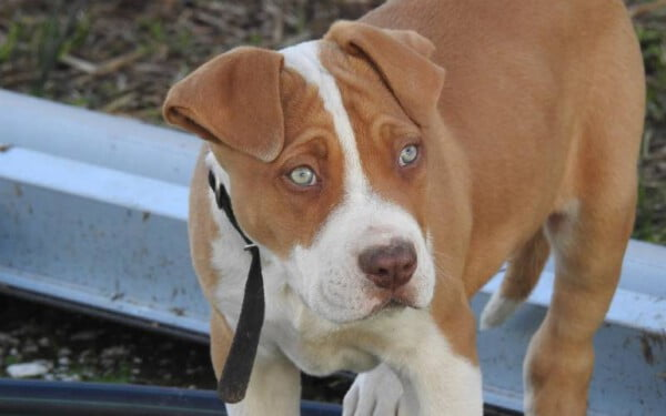 pitbull-red-nose