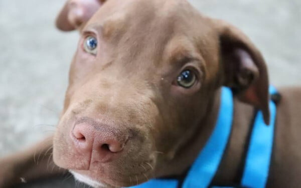 pitbull-red-nose-2