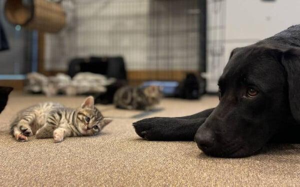 labrador-cuida-de-gatinhos-orfaos-2