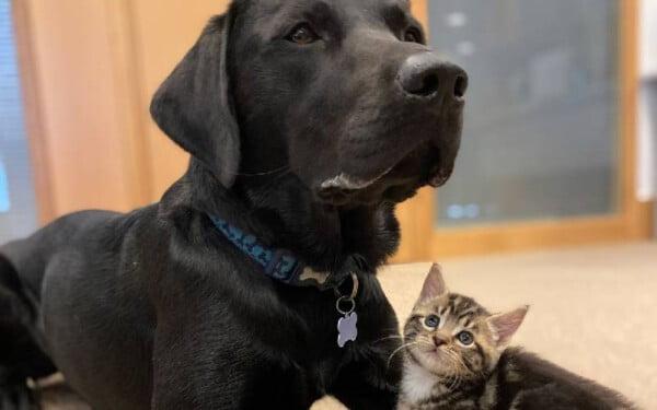labrador-cuida-de-gatinhos-orfaos-3